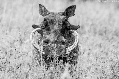 Adult male warthog, Serengeti