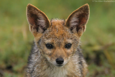 Young black-backed jackal, Masai Mara