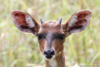 Young bushbuck male, iSimangaliso, South Africa