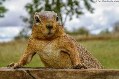 Ground squirrel, Tsavo