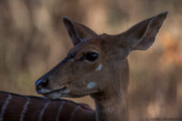 Female nyala in shade, Mkuze