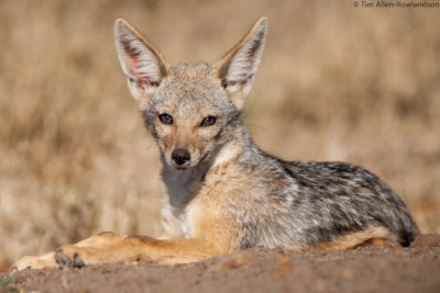Young black-backed jackal enjoying the early morning sun close to the safety of its den, Masai Mara