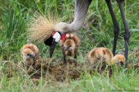 Crowned crane with chicks, Masai Mara