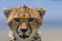 Young cheetah looking directly at me from its vantage point on a termite mound, Masai Mara