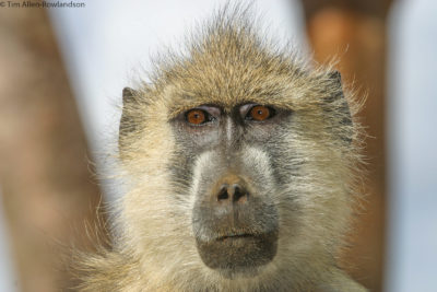 "Subadult yellow baboon (Papio cynocephalus) which means ""dog-headed"", Tsavo"
