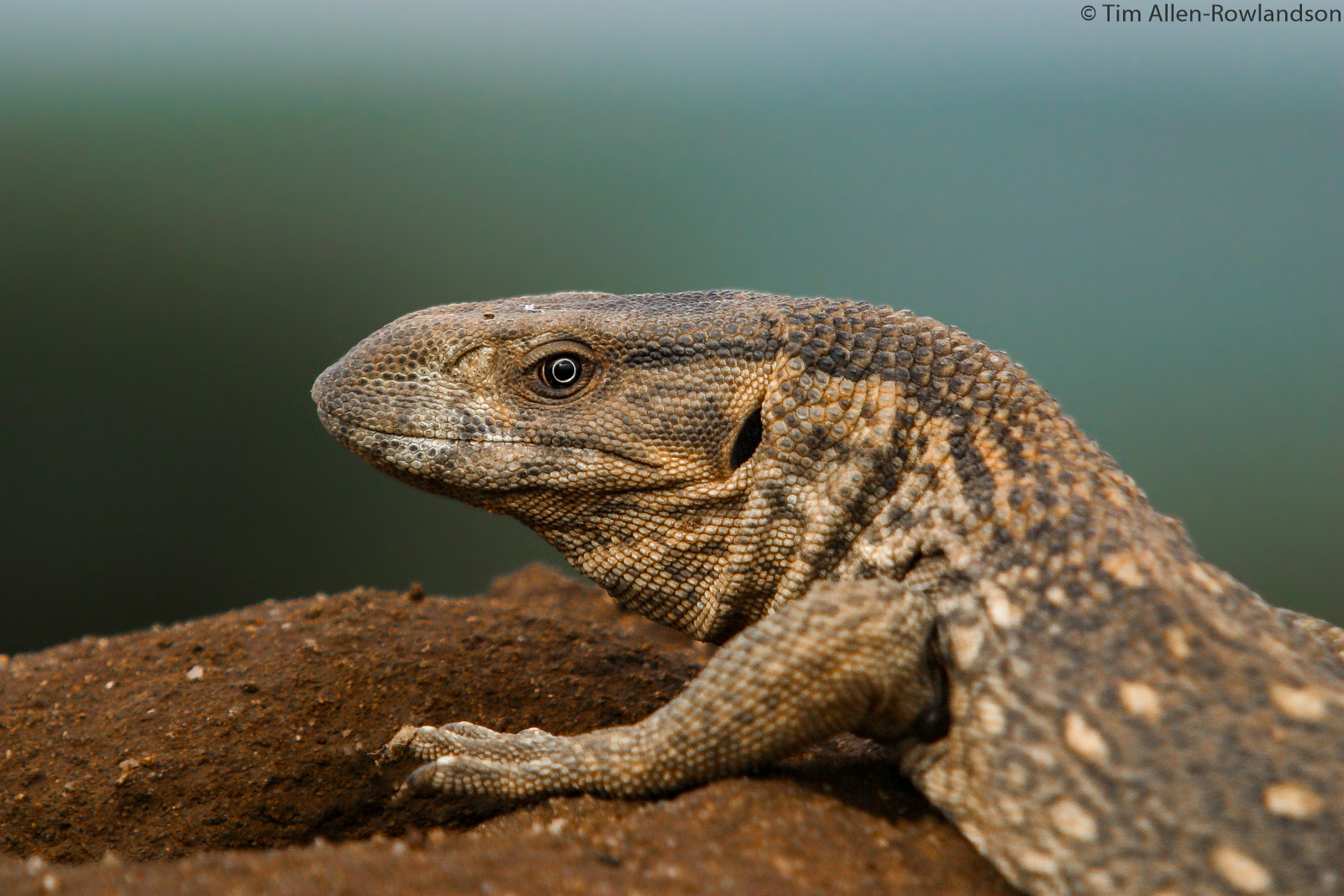 Monitor lizard on top of a termite mound, Samburu