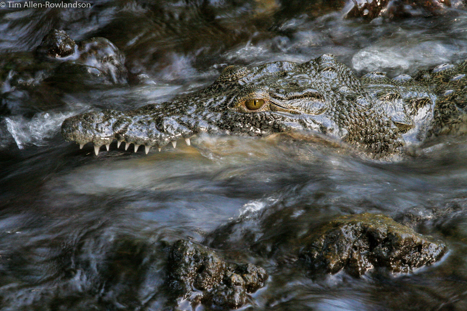 Young crocodile fishing in a shallow stream, Tsavo
