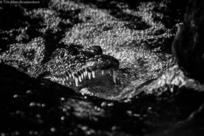 Crocodile fishing in a shallow stream, Tsavo