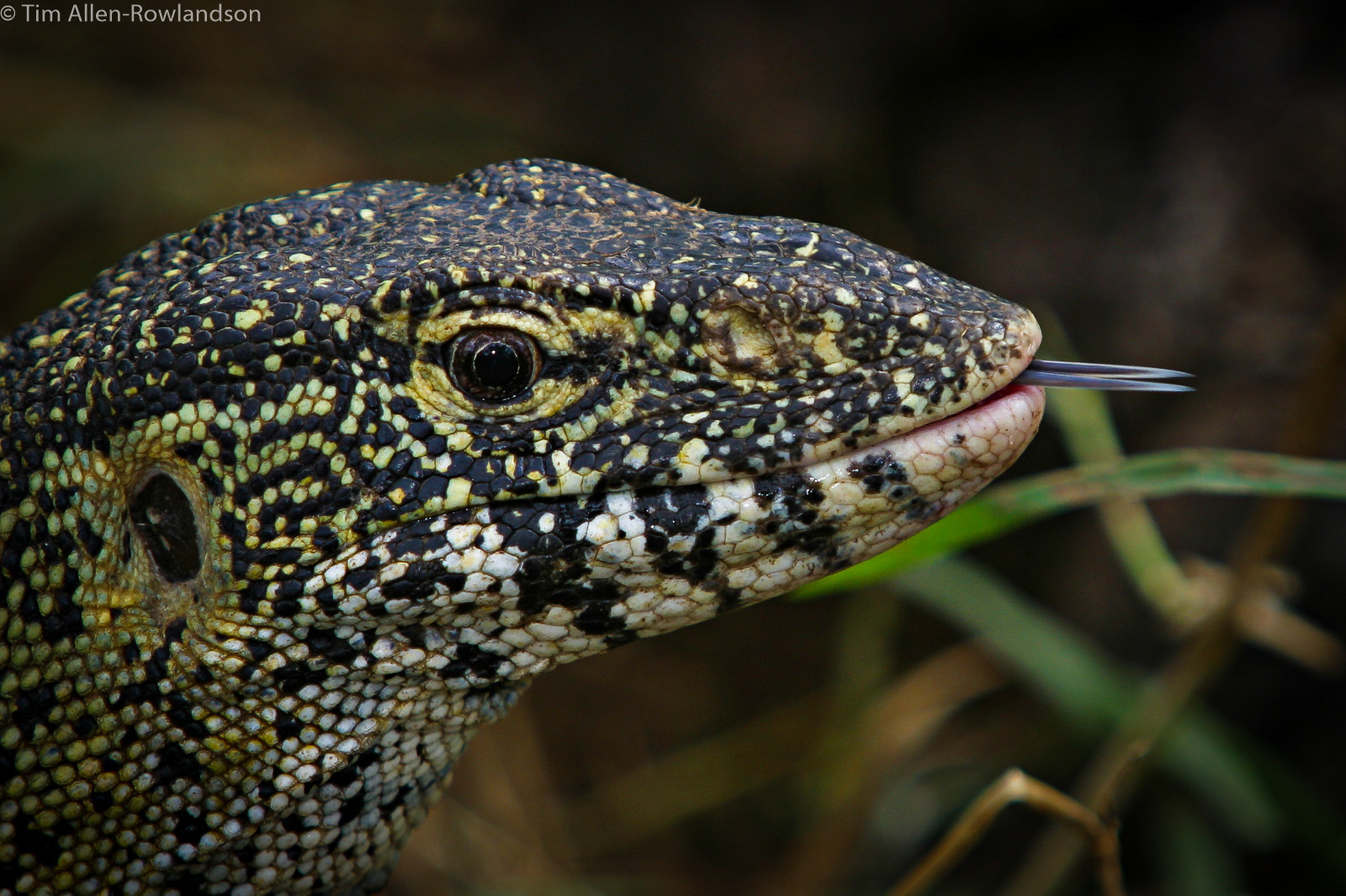 Nile monitor testing the environment with its forked tongue, Tsavo