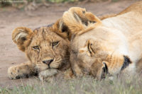 Young cub staying alert while mum takes a rest, Serengeti
