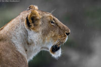 Lioness in the rain, Masai Mara