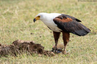 African fish eagle gripping a tilapia it had just caught from a nearby marsh, Amboseli