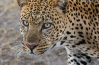 Male leopard checking me as it walks past my stationary vehicle at dusk, Masai Mara