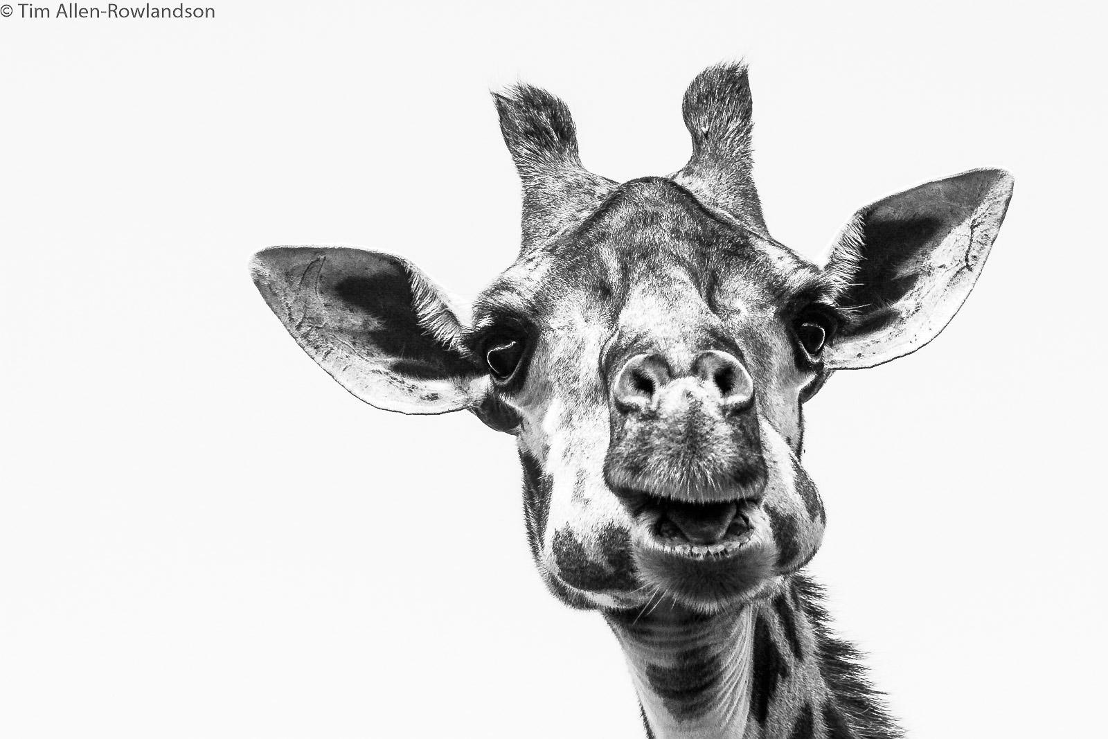 Ruminating giraffe, Masai Mara