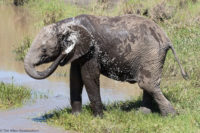 Young elephant taking a shower, Masai Mara