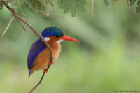 Malachite kingfisher, Amboseli