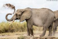 Elephant dusting, Amboseli