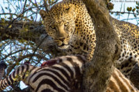 Male leopard feeding on a juvenile zebra that it had killed and hoisted up a tree earlier in the day, Masai Mara