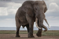 Dominant bull elephant on the move, Amboseli