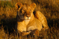 Young well-fed lion relaxing in the late afternoon sun, Masai Mara