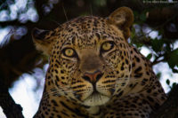 Alert male leopard in the early morning, Masai Mara