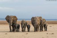 Family of elephants crossing the dry bed of Lake Amboseli in search of greener pastures and water.